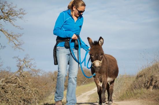 Stubborn like a donkey or just plain tough?