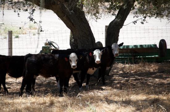 New Steers