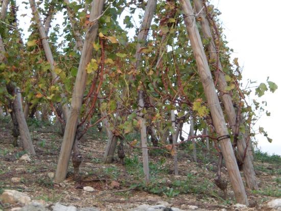 Classic training of vines in Cote Rotie
