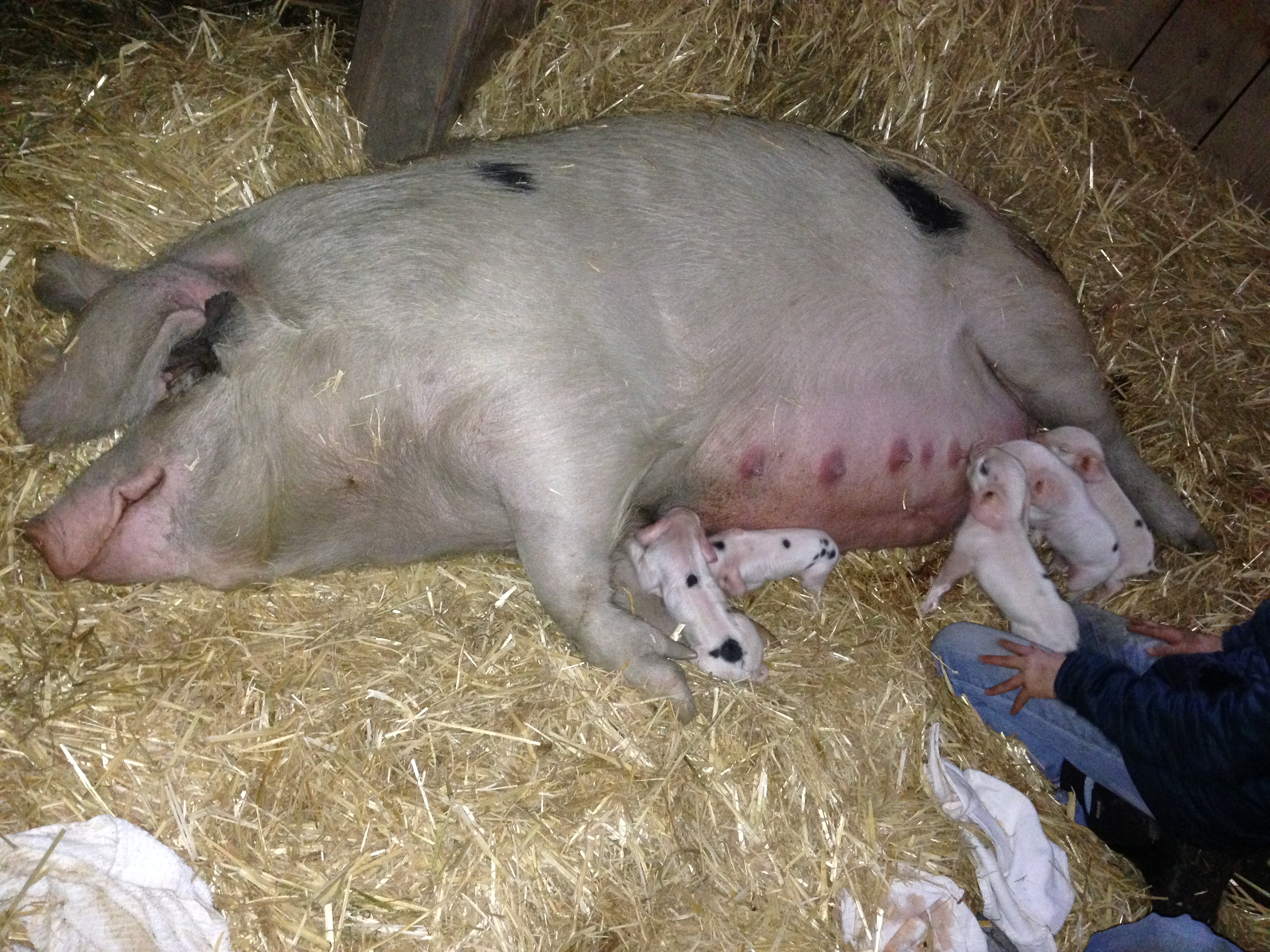 baby pigs « The Creston Nugget